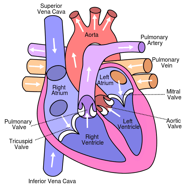 sex heart male erections